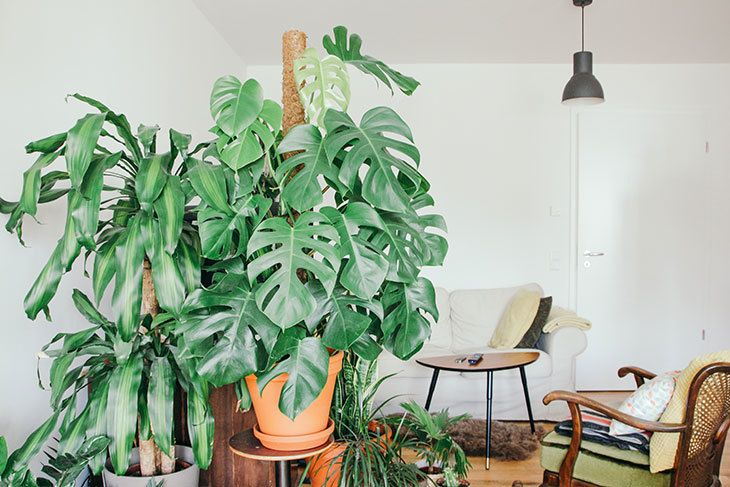 Urban Jungle Monstera Fensterblatt Pflanze