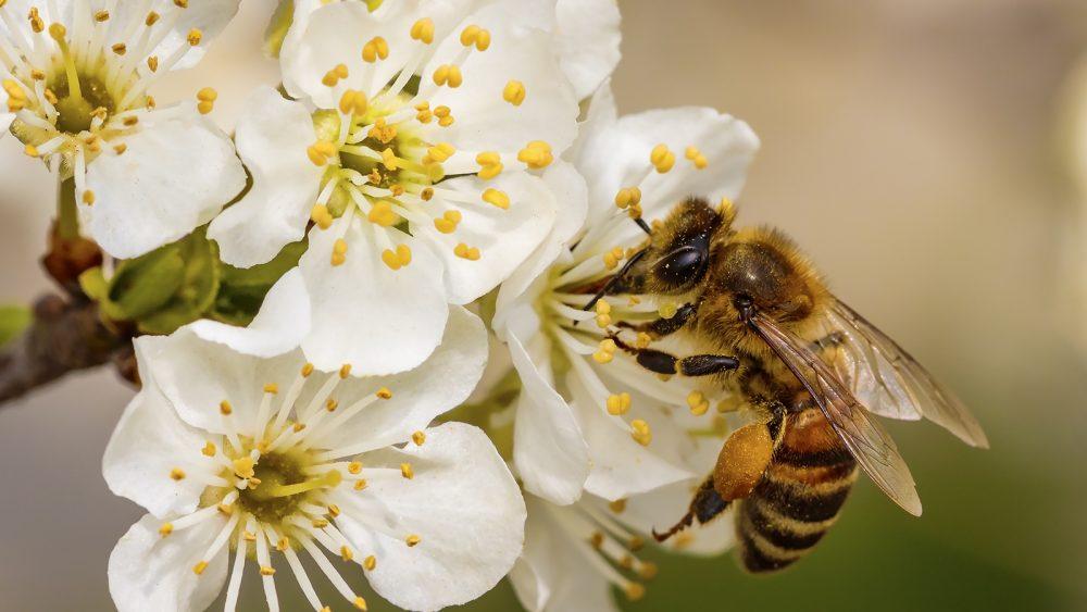 Biene auf kleinen, weißen Blüten