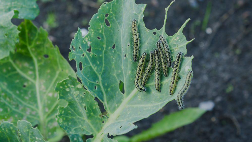 Raupen auf einem angefressenen grünen Blatt