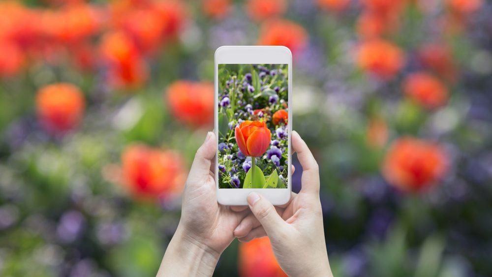 Tulpen mit dem Smartphone schön fotografieren
