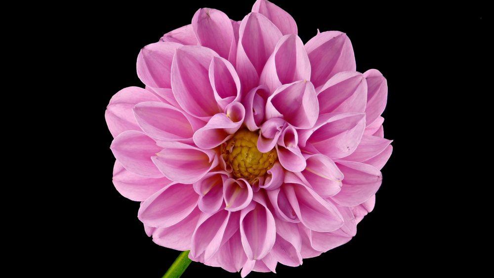 Vor einem dunklen Hintergrund können fotografierte Blumen richtig strahlen